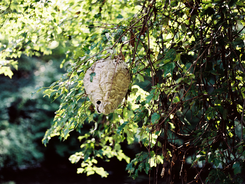 jenc_paper wasp nest_pennsylvania_wk36