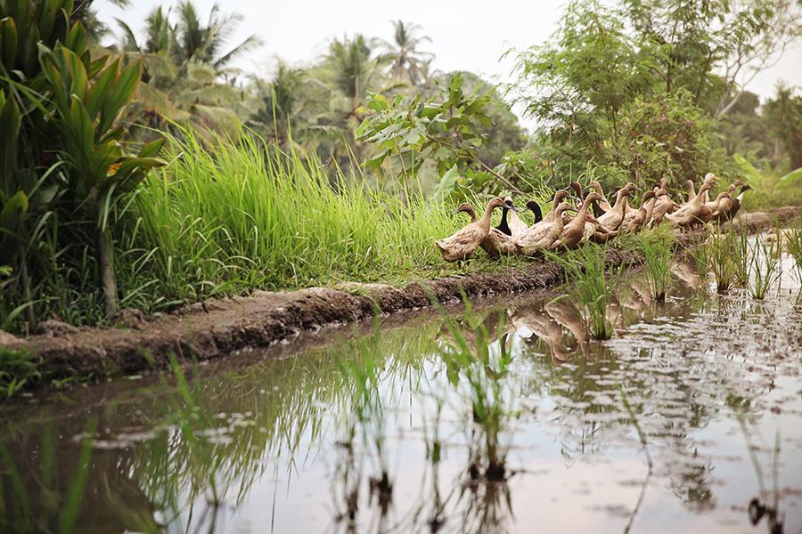 WYWH-Rowe-Timson-Week-45-family-of-ducks_ubud_Bali