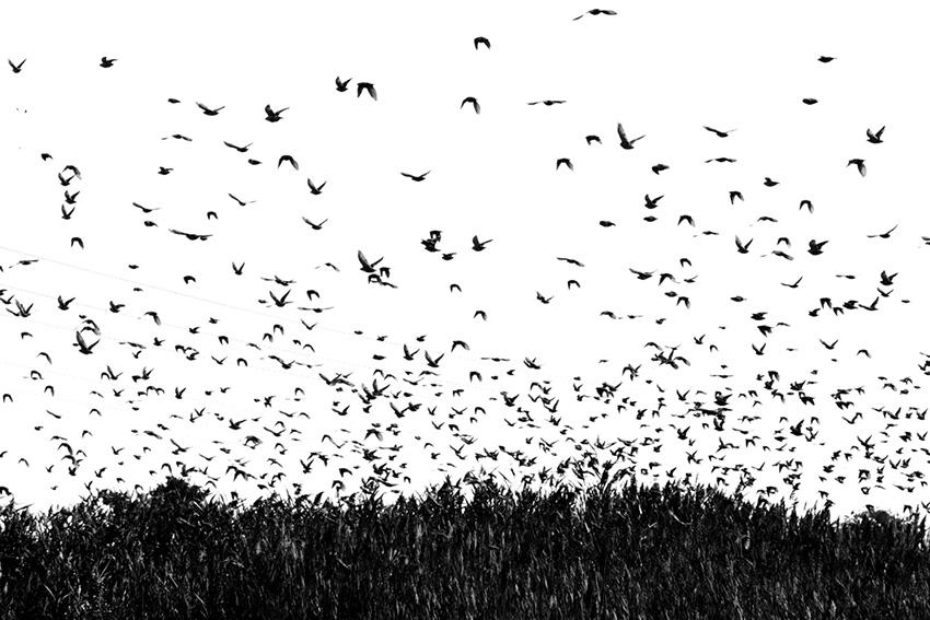 pamelajoye_wk46-bird-swarm-massachusetts