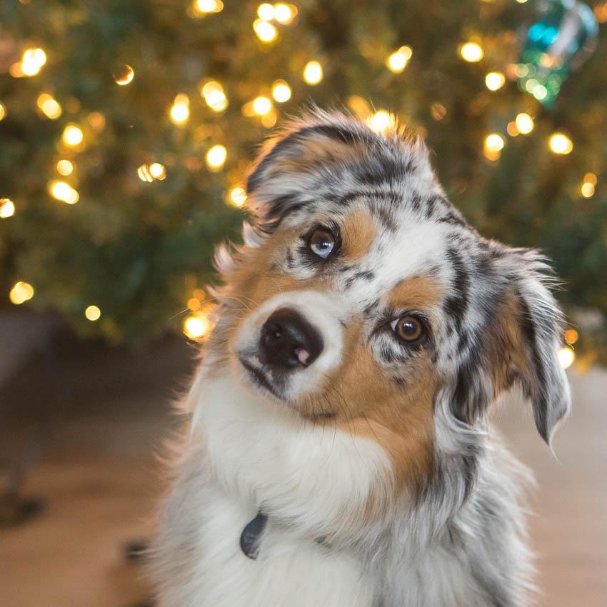 05-kaypickens-Christmas-Pup-MO-wk50-4718
