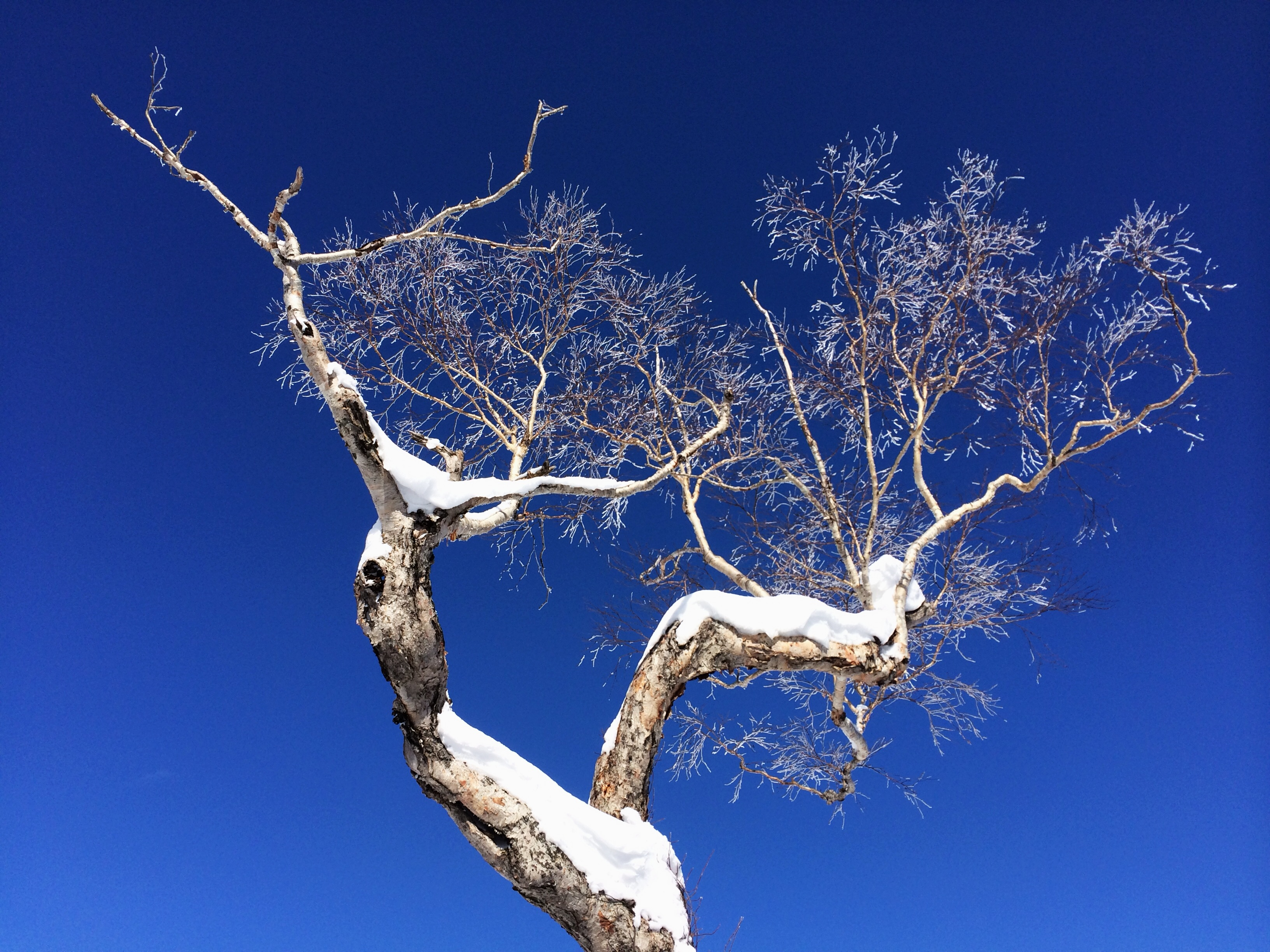 nicolaberry_Snow Tree_Niseko_Japan