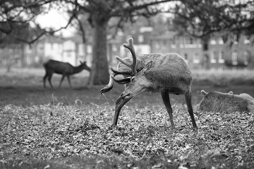 lili-love-scratching-an-itch-bushy-park-england