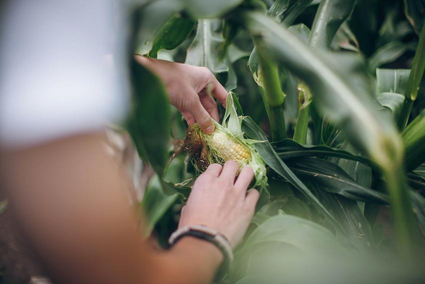 corn.picking.england.lili.love