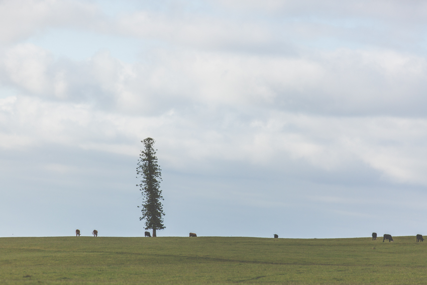 A Lonely Pine on the way to Flinders-Shoreham-Australia-Megan-Gardner-Wk6