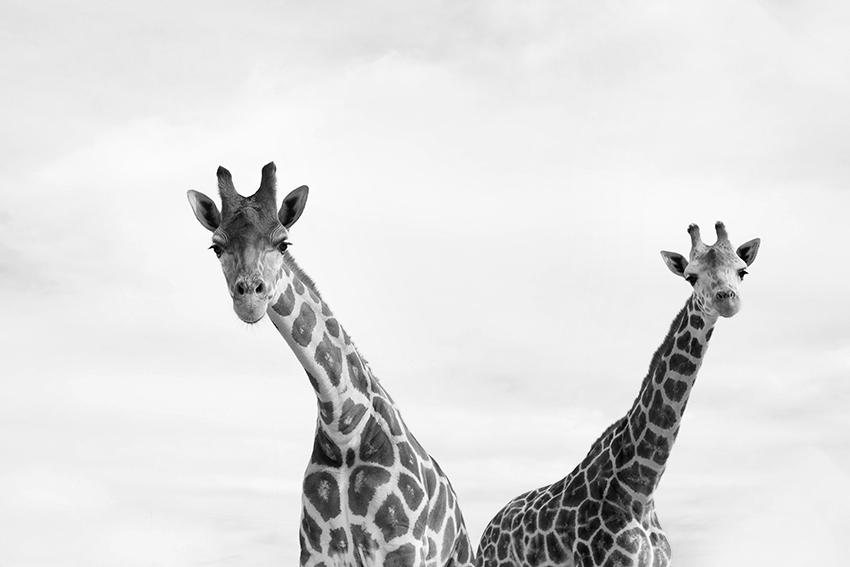 felicedouglas_giraffes_lioncountrysafari_florida
