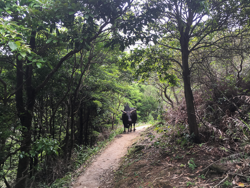 nicolaberry_Water Buffalo (snakes not pictured)_MacLehose Trail, Stage 4, Hong Kong_