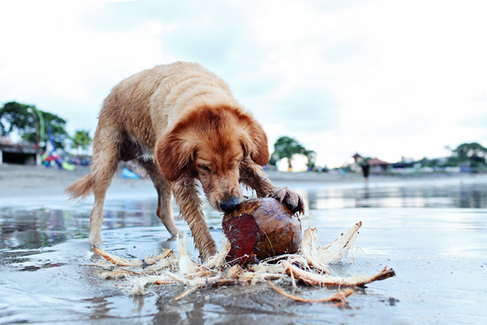 Rowe Timson_The dog who loves coconuts_Bali