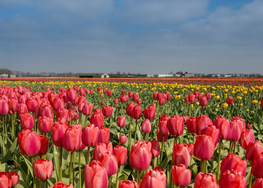 JaroszKristine13_Bollenstreek_Voorhout_The Netherlands
