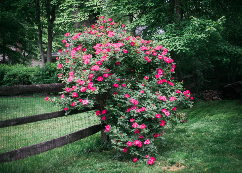 jenc_backyard rose bush_pennsylvania