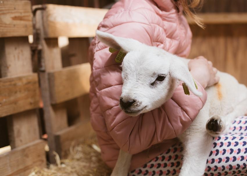 KJ 22. Lammetje Knufflen - Lamb Hugs. Texel The Netherlands