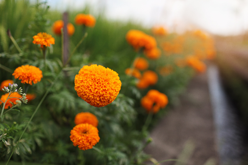 Rowe TImson_Roadside marigolds_Canggu Bali