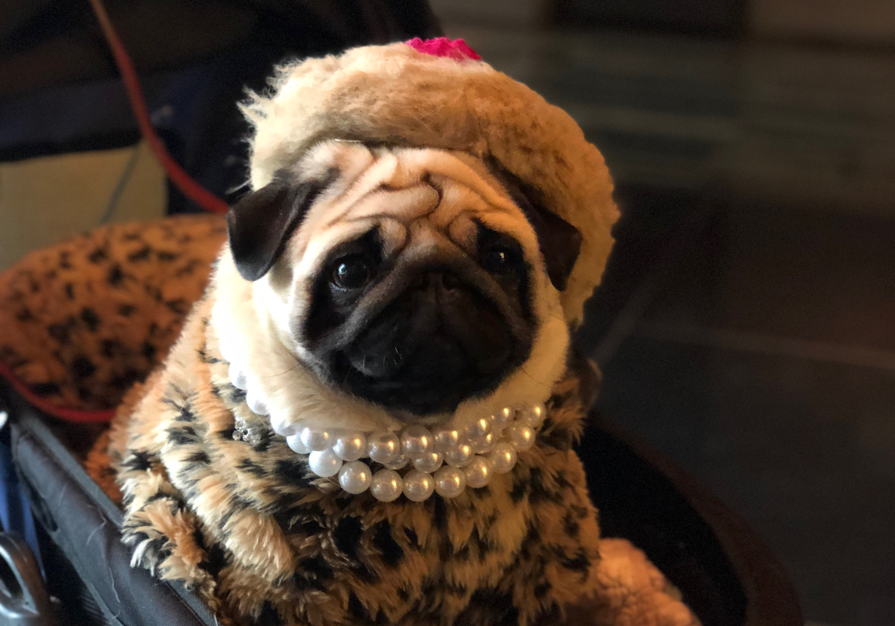 colleen_putman_lady_pug_out_on_the_town_manhattan